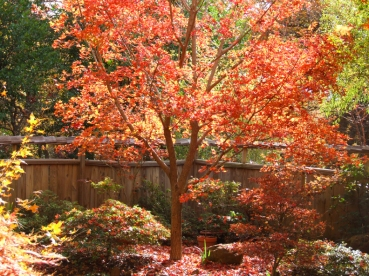 shantung maple